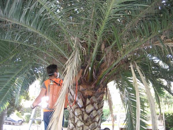 Termini: Nuovi interventi sulle palme contro il punteruolo rosso
