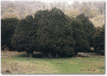 Un progetto per salvaguardare il bosco degli agrifogli giganti