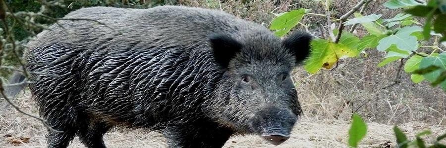Cinghiali, parte la task force del Parco: caccia e gabbie nelle Madonie