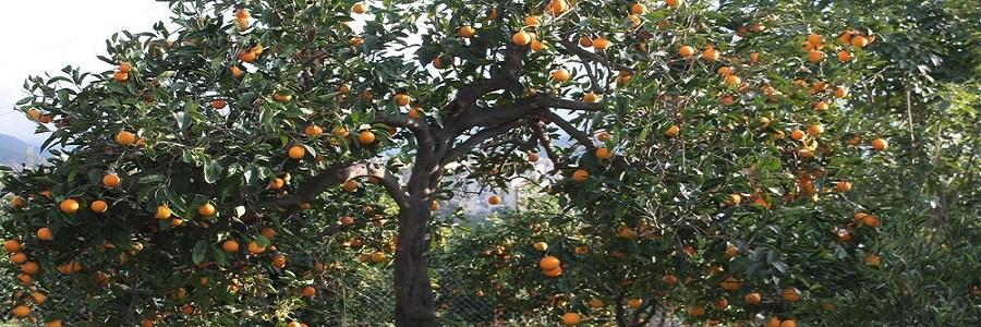 Lascari, arrestato per un furto di arance