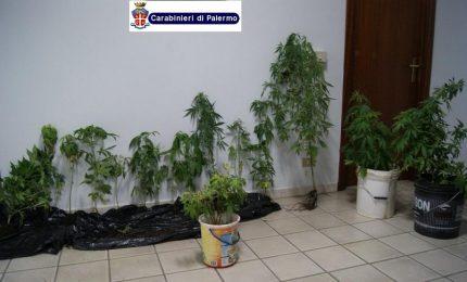 Cefalù: scoperta una piantagione di cannabis