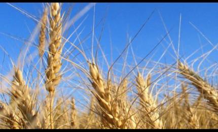 Origine in etichetta, arriva l'obbligo per grano, pasta e riso
