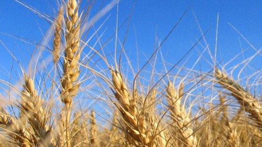 GAL: bando sui grani duri delle Madonie