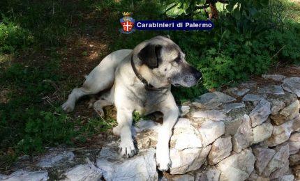 Misilmeri, cane domestico aggredisce bimbo, tragedia sfiorata