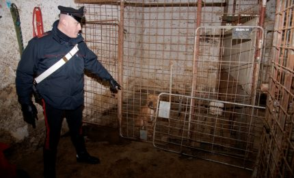 Maltrattamento di animali, 5 denunciati. I Cani forse utilizzati nei combattimenti