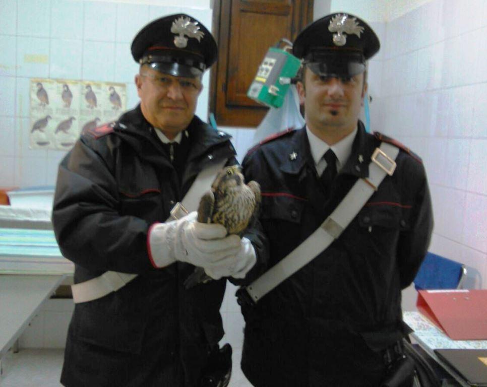 Falco pellegrino ferito da un bracconiere, salvato dai Carabinieri