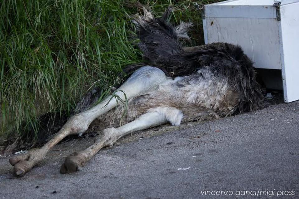 La carcassa di uno struzzo tra i rifiuti a Monreale