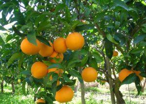 arance agrumeti caratteristici