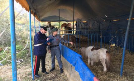 13 animali sequestrati ad un circo per maltrattamenti