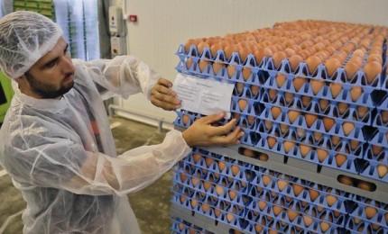 Uova fresche contaminate da Fipronil, diversi casi anche in Italia