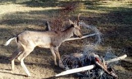 I forestali nel Parco delle Madonie liberano un daino impigliato nelle reti