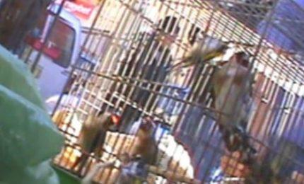 Commercio fauna protetta, gli appassionati cercano gli uccelli canterini