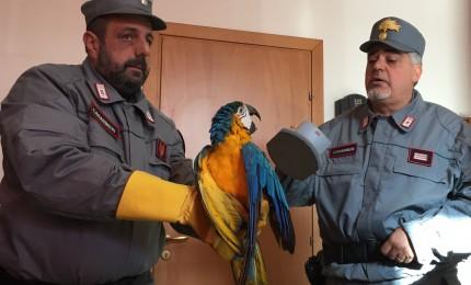 I Carabinieri forestali salvano un raro esemplare di pappagallo