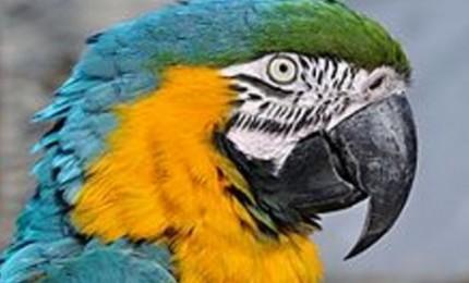 Restituito ai proprietari il raso esemplare di pappagallo recuperato