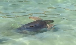 tartarughe in mare