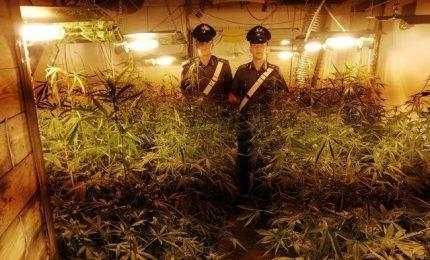 Socperta piantagione indoor, sequestrate cento piante di marijuana