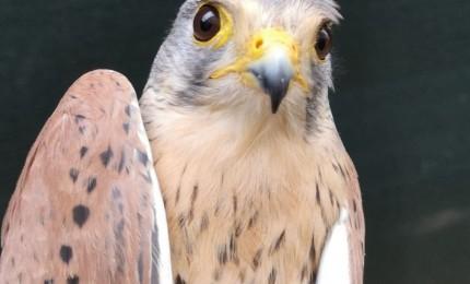 Ninuzzo il falco tornerà libero