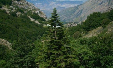 Abies Nebrodensis, la resilienza in natura