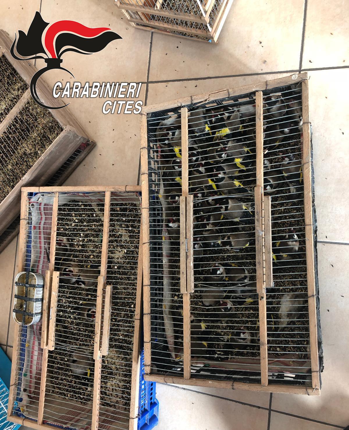 Blitz Carabinieri, sequestrati 140 cardellini