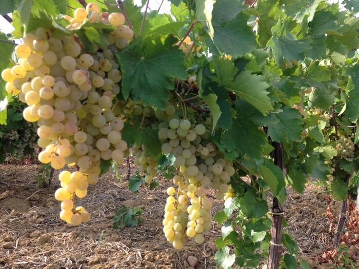 Crisi del vino da tavola siciliano