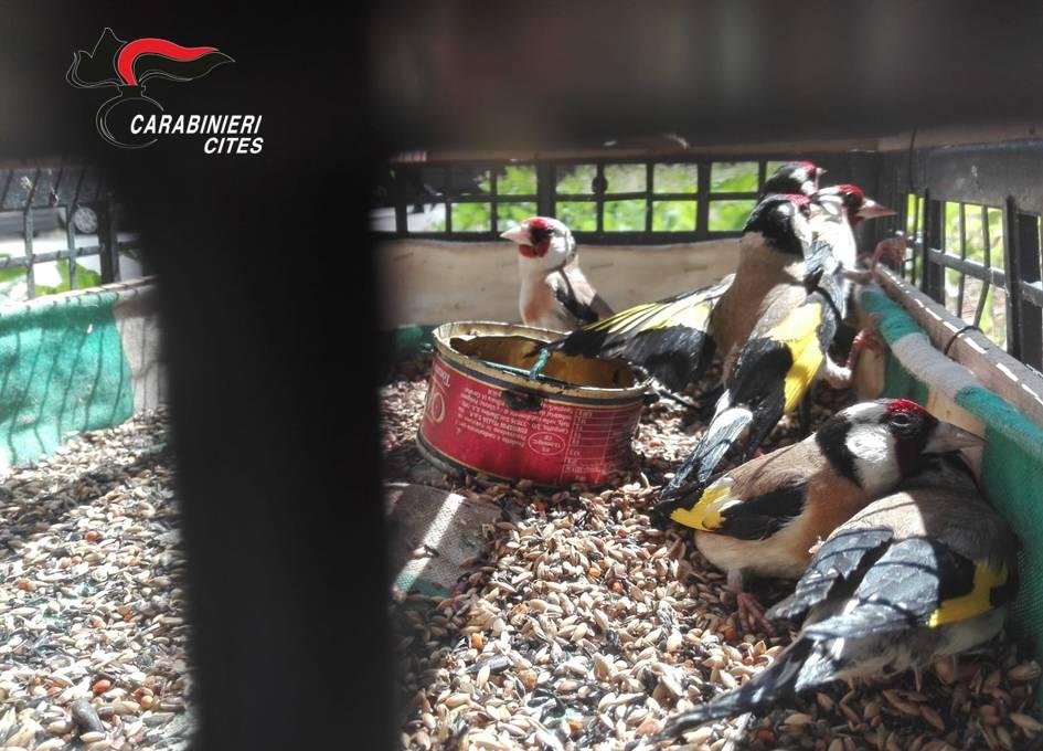 Trappola per uccelli, così un giovane bracconiere imbrigliava cardellini