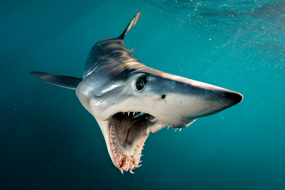 Avvistato squalo Mako, esemplare di quattro metri