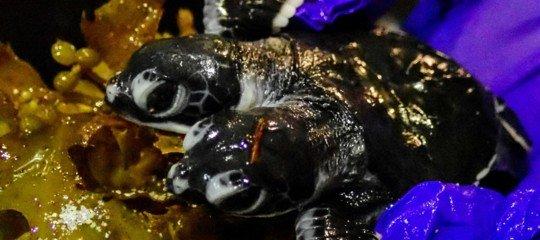 Scoperta tartarughe a due teste
