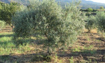 Numeri buoni e qualità eccellente per l'annata olearia