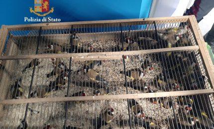 Denunciati due palermitani che trasportavano oltre 40 cardellini sottratti alla fauna selvatica