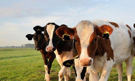 Mucca pazza, primo caso in Svizzera dal 2012, ma in Italia non c'è nulla da temere