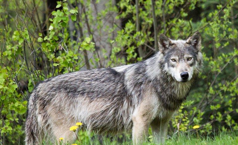 Torna il lupo nel Salento, la natura offre un case study per la reintroduzione del mammifero nelle Madonie