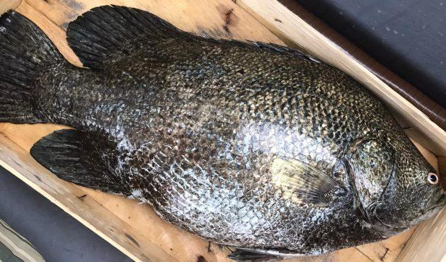 Pescato a largo di Cefalù un esemplare di pesce foglia